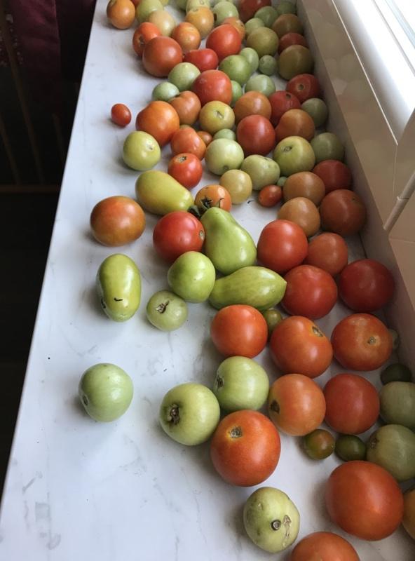 Tomaten nachreifen lassen