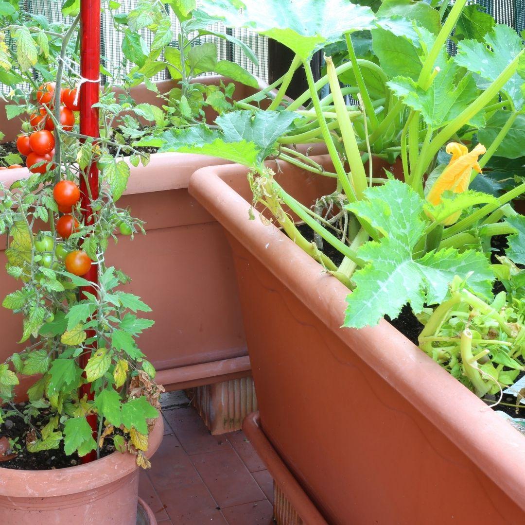 Zucchini auf dem Balkon