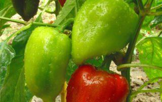 Paprika Pflanzen
